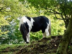 Horse, Belle Vue Lane, Upper Cwmbran 7 October 2018 (Cold War Warrior) Tags: horse cwmbran domestic
