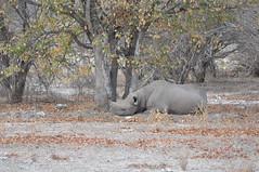 DSC_0521 (j1mdevl1n) Tags: namibia etoshanationalpark blackrhinoceros