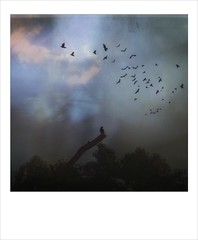 Stay calm in the storm. (jeanne.marie.) Tags: textured mydailywalk polaroid flight flying sky clouds tree silhouettes iphoneography iphone7plus crows