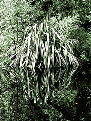 Dip the Tips (Steve Taylor (Photography)) Tags: flax digitalart green black white contrast water lake newzealand nz southisland canterbury christchurch plant bush leaves foliage reflection spring