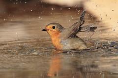 Il bagnetto di Robin (Marcello Giardinazzo) Tags: pettirosso avifauna wild birds uccelli robin