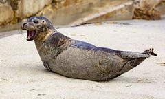 18A_1247 (Mark Ritter) Tags: seal seals macro lajolla california
