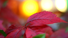 IMG_6092a (matek 21) Tags: bokeh eos 50mm rebel autumn