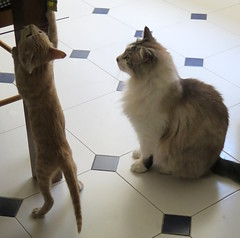 383-June'18 (Silvia Inacio) Tags: mel tabby gata gatos cat cats martini gato kitten