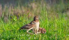 Three Musketeers (agnish.dey) Tags: bird birding birdwatching owl burrowingowl green grassland wildlife naturallight nature naturephotograph nikon naturethroughthelens animalplanet coth capecoral d500
