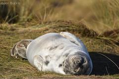 Contented seal (Jen Buckle) Tags: seal winterton norfolk dunes sanddunes sealpup jenbuckle nikon