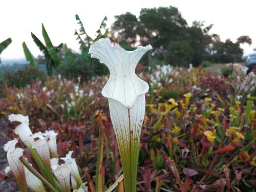 Hurricane creek white Al  sarracenia carnivorous plant clone B Baldwin cty