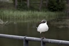 Fiskarsin Lokki Kelaa (Aleksi Romo) Tags: finland birds helsinki nature wildlife urbanbird
