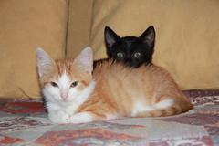 Brother and sisters (obiuan01) Tags: gatto gattini fratello e sorella cat cats