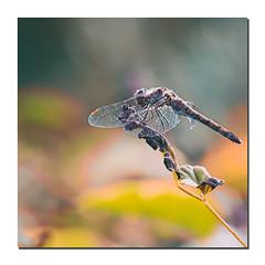 Lumières et couleurs d'automne (Des.Nam) Tags: couleur color contrejour contraste desnam nikon nikond800 d800 nature automne automnal bokey flore faune insecte libellule dragonfly