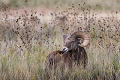 Badlands Bighorn ((JAndersen)) Tags: badlands badlandsnationalpark bighornsheep animal nature wildlife ram southdakota usa nikon nikkor20005000mmf56 d810