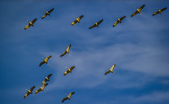 Migration des grues cendrées. (Crilion43) Tags: région véreaux ciel grues centre nuages cher animaux paysages villes