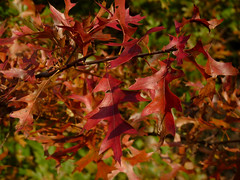 Pin Oak (Dendroica cerulea) Tags: pinoak quercuspalustris quercus fagaceae fagales tree oak red plant foliage donaldsonpark highlandpark middlesexcounty nj newjersey
