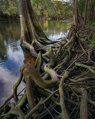 Cypress Tree Off The Santa Fe River (Michael l Dye) Tags: tree forest nature roots water wood green trees river root landscape moss plant branch old outdoors rock environment jungle leaf trunk spring grass branches santaferiver florida cypress