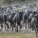 The Wildebeest are in Charge (Digital Rebels) Tags: wildebeest kenya masaimaragamepreserve africa migration mammal river serengitiplains safari lion run chase prey