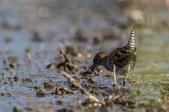 Baillon's crake (crispiks) Tags: sumsion gardens wodonga north east victoria nikond500nikon7020028 birdlife