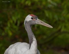"""Walsrode, Weltvogelpark, """"Kranich"""" (joergpeterjunk) Tags: walsrode weltvogelpark outdoor tier vogel kranich schärfentiefe canoneos50d canonef100400mmf456lisusm"""
