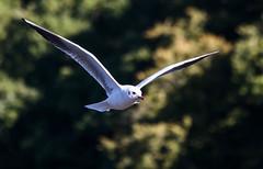 The art of flight (pootlepod) Tags: canon60d closeup candid colour gulls birds flight gliding rspb stoke gabriel stokegabriel devon england nature feathers eyes sea land natural wildlife environment steveedwards