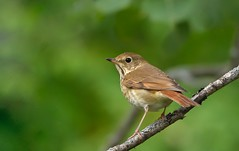 Hermit Thrush (hd.niel) Tags: hermitthrush thrushes brown spotted nature wildlife ontario photography nikon
