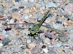 Pale Snaketail (Boulder Flying Circus Birders) Tags: palesnaketail ophiogomphusseverus dragonfly boulder colorado wildbirdboulder wildbirdcolorado boulderflyingcircusbirders freebirdwalk saturdaymorningbirders bouldercounty janebaryames