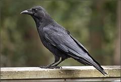 Crow (Felip1) Tags: 189194811a