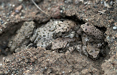 Variable Green Toad (Bufotes variabilis) (cowyeow) Tags: bufotesvariabilis bufovariabilis bufotes variabilis bufo toad toads baby babies babytoad cute together variablegreentoad variabletoad variable herp herps herping herpetology nature wildlife macro amphibian