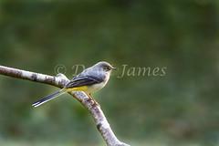 20180924 Forest Farm - 2 (Dewi James) Tags: forestfarm wales birds bird greywagtail wagtail cardiff