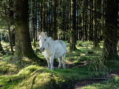 White Horse in the trees (JRPics.) Tags: woodstrees sun shade forest nature uk horse woodland cornwall bodminmoor white