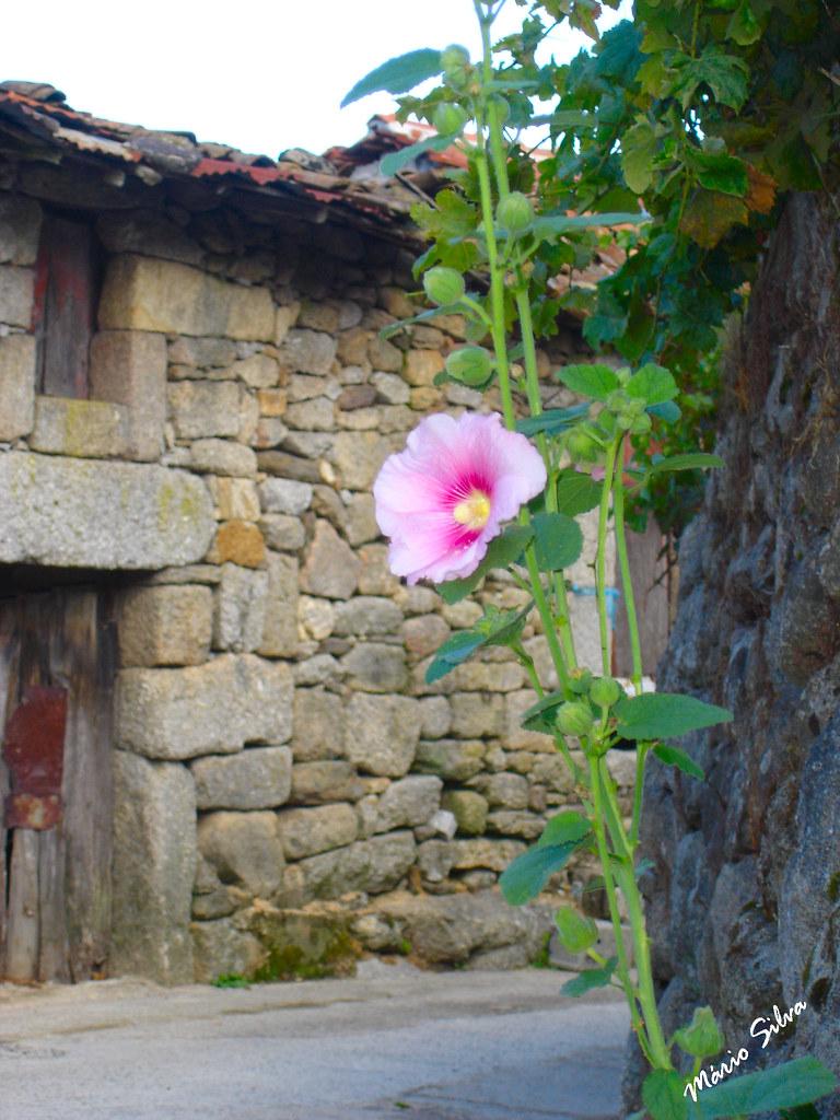 Águas Frias (Chaves) - ... a flor e as ruínas ...