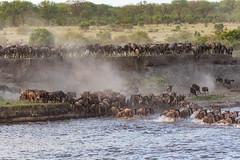 Wildebeest (jorgen_hog) Tags: tanzania serengeti marariver wildebeest crossing