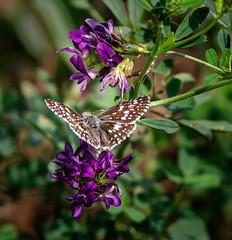 Away (Portraying Life, LLC) Tags: dbg6 da3004 hd14tc k1mkii michigan pentax ricoh unitedstates closecrop handheld nativelighting skipper clover meadow flower