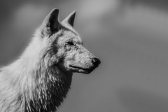 Hudson bay wolf (Andy barclay) Tags: wolf wolves dog hunt hunting animal wild wildlife canada canadian america white eyes sky nikon lincolnshire woodside zoo park d7100