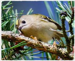 Goldcrest (Regulus regulus) (1 of 2) - Taken at Irchester Country Park, Irchester, Wellingborough, Nothants. UK (Ian J Hicks) Tags: