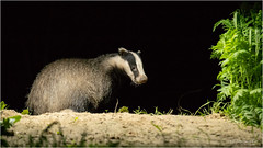 Badger (Gertj123) Tags: animal wildlife drenthe night canon sigma120300mmf28 fall hide