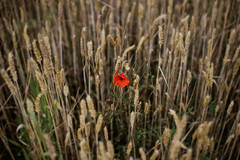 Outnumbered (Guillaume DELEBARRE) Tags: flower poppy coquelicot champs canoneos6d 50f12 field dof red blé