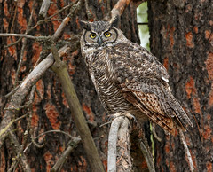 Great Horned Owl Posing (ken.helal) Tags: