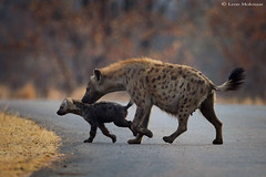 Matriarch and threatened cub (leendert3) Tags: leonmolenaar southafrica krugernationalpark wildlife nature mammals spottedhyena ngc npc coth5