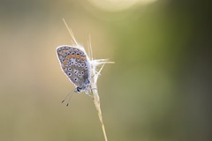 (Leela Channer) Tags: insect animal nature morning dew light garrigue autumn butterfly commonblue
