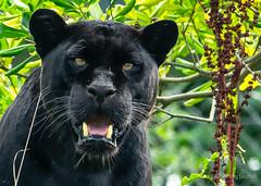 Black Panther (JKmedia) Tags: pantheraonca bigcat bigcats jaguar ferocious boultonphotography chesterzoo 2018 animal