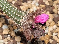 Mamilaria pringlei (Eerika Schulz) Tags: hannover herrenhausen berggarten eerika schulz mamilaria pringlei