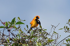 Оранжевоспинный трупиал, Icterus croconotus strictifrons, Orange-backed Oriole (Oleg Nomad) Tags: птицы боливия bird aves bolivia