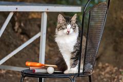 wanna play table tennis with me? (madtacker) Tags: outdoor natur tier katze stuhl tischtennis tabletennis bokeh panasonic lumix fz1000 deutschland germany