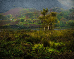 Nant Peris (Andy Poole Images) Tags: silverbirch tree snowdonia
