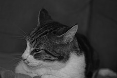 9291.Grigri (Greg.photographie) Tags: grigri mistigri sony alpha alpha3000 minolta rokkor qf rokkorqf macro 50mm f35 chat cat blackandwhite bw noiretblanc