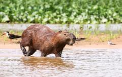 pantenalOct2018-4059 (beckstei) Tags: pantenal capyvara capybara onca jaguar landscape nature alligator cayman jacare porto jofre heron hawk river claro photo safari riosanlourenco riocanabu riocuiaba portojofre mattogrosso brasil