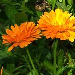 Ringelblumen - Leuchten thumbnail