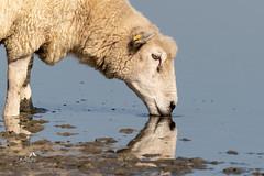 KV4A1316 Får - Sheep. Vadehavet -  Wadden Sea National Park (I appreciate all the faves and visits many thanks) Tags: animals dyr fårsheep nationalparkvadehavetwaddenseanationalpark natur nature solveigøsterøschrøder