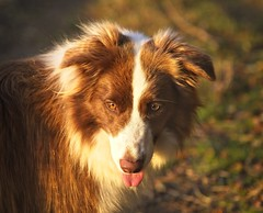 Tali in the Autumnal Light (asheers) Tags: border collie dog young animal cute sunlight evening sunset golden red eyes tongue bokeh autumn