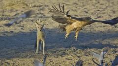 _D714657 Roofarend (johann.spies) Tags: aquilarapax blackbackedjackal kgalagadi2018 roofarend silwerrugjakkals tawnyeagle voëls birds arend eagle wildlife kalahari natuurlewe natuur nature