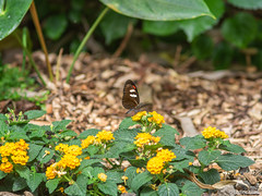 Butterfly (✦ Erdinc Ulas Photography ✦) Tags: lenstagger nature flowers yellow vintage bokeh smooth background insect konicahexanonar135mmf35 konica hexanon retro leaf plants green panasonic focus